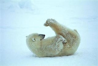 באמת. דוב עושה יוגה.