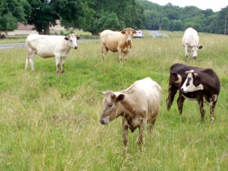 Cows_on_Selsley_Common_-_geograph.org.uk_-_192472.jpg